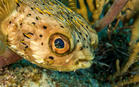 Porcupine Pufferfish