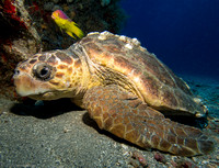 Hawksbill Turtle and Spanish Wrasse