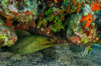 Green Moray (Gymnothorax funebris) and Reef Butterflyfish (Chaet