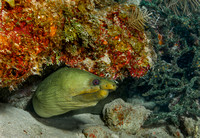 Green Moray (Gymnothorax funebris)  Key Largo, FL, USA