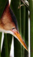 Least Bittern Hunting