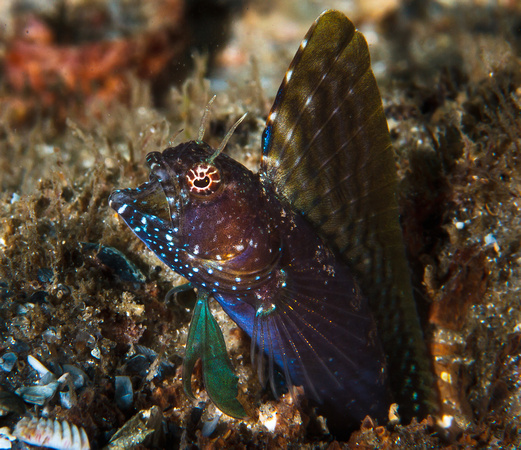 Sailfish Blenny