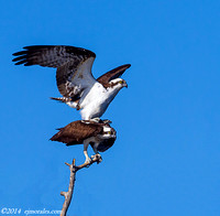 Ospreys Mating (Pandion haliaetus)